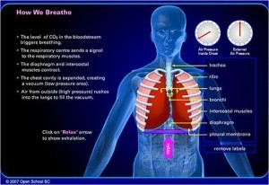 Open School BC – How We Breathe – Biology 12